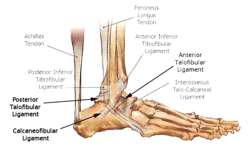 Ankle-Ligaments-Diagram